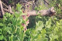 Baptisia_australis