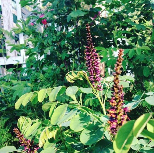 Amorpha fructicosa